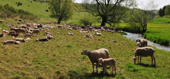 Schafherde Schwäbische Alb Lautertal bei Gomadingen